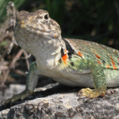 Photo of a Collared Lizard (Crotaphytus collaris)