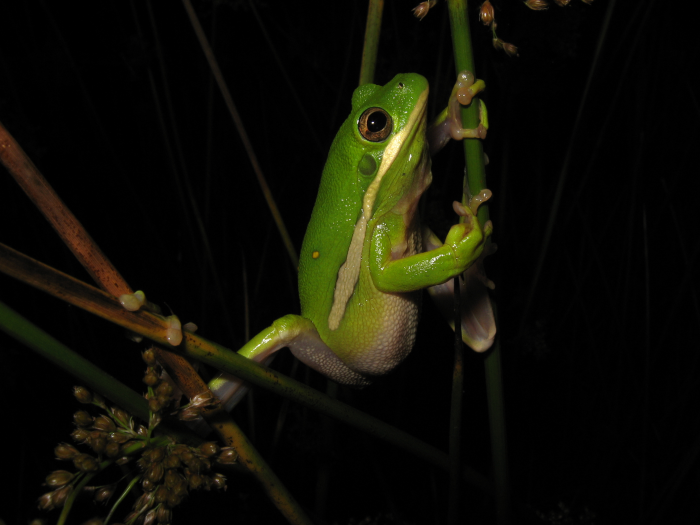 Green Treefrog (<i>Hyla cinerea</i>) photo