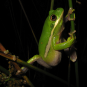 Photo of a Green Treefrog (Hyla cinerea)