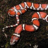 Photo of a Red Milksnake (Lampropeltis triangulum)