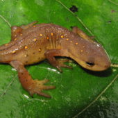 Photo of a Central Newt (Notophthalmus viridescens)