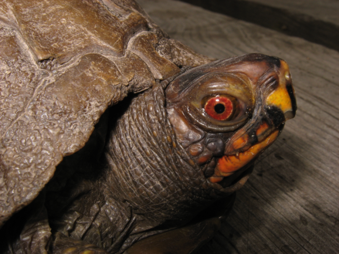 Three-Toed Box Turtle (<i>Terrapene carolina</i>) photo